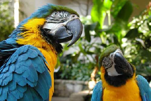 two blue and yellow coated parrots at the bird kingdom